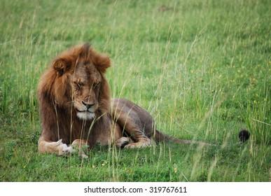 Sad Ugandan lion deep in thoughts