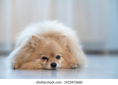 Sad upset little Pomeranian Spitz dog is lying on a floor at home, in the house, suffering. Puppy is missing, waiting for his owner