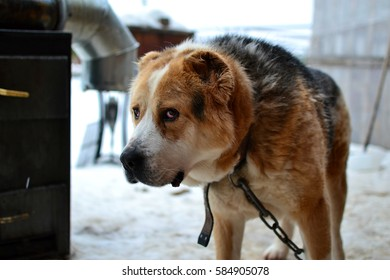 Sad watchdog guarding a countryside house in winter surroundings
