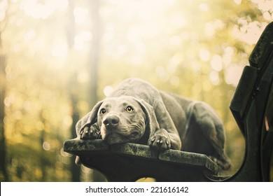 sad weimaraner dog puppy trick in autumn nature