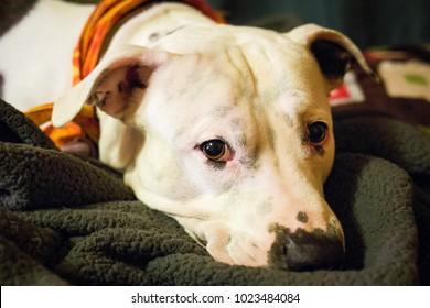 Sad white pitbull laying staring at camera alone