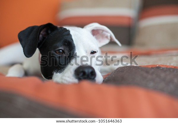 Sad white puppy with eye patch rests on a bed