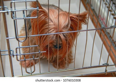 Sad Yorkshire Terrier sits in cage with bowed head. Concept of lost pet, loneliness, abandoned dog, waiting and longing.