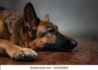 Saddened dog on a gray background. The dog is upset that the owner is gone. Waiting for the host. German Shepherd lying on the floor. Studio photo session