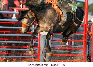 Saddle bronc bucking at rodeo
