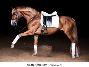 saddle chestnut horse lifted leg on a black background
