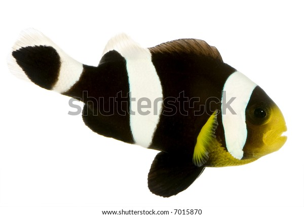 Saddleback Clownfish  - Amphiprion polymnus in front of a white background