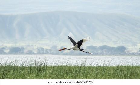 Saddlebill in mid flight over Hawassa Lake