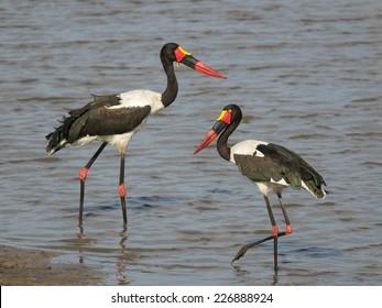 Saddle-billed Stork, Ephippiorhynchus senegalensis.