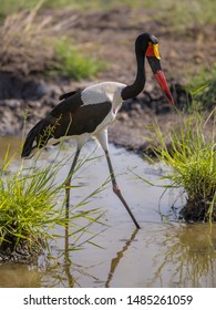 Saddle-billed stork (Ephippiorhynchus senegalensis) wading and looking down in muddy pond in Kruger national park South Africa