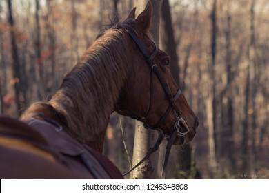 Saddlebred Horse In Forest