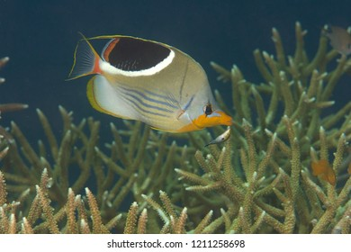 Saddled butterflyfish, Chaetodon ephipium   swimming over corals of Bali, Indonesia