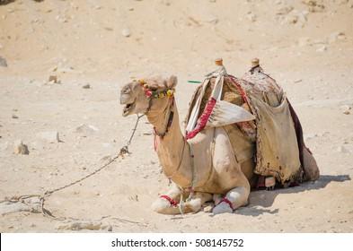 Saddled camel lying in desert sand
