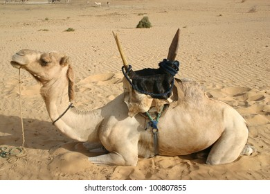 A saddled camel in the Sahara Desert of Mali, Africa awaits his nomad rider.