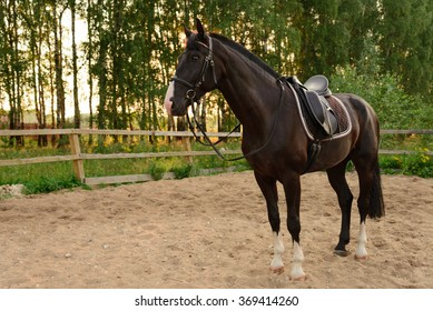 saddled horse stands on the sand in the paddock at sunset. Russia