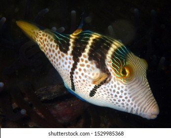 Saddled puffer fish Canthigaster Valentino cruises through the reef reflecting light from its stripes