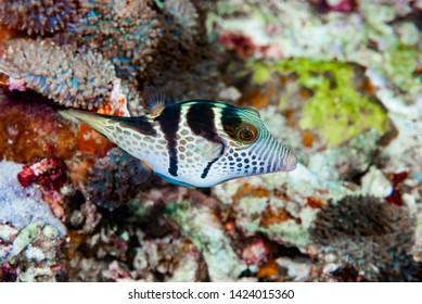 Saddled Pufferfish Canthigaster valentini, Indonesia