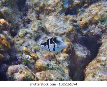 A Saddled Pufferfish swimming on the reefs of the Maldives