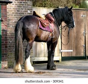 Saddled Shire Horse waiting for rider