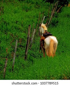 Saddled white horse tied to a post in the jungle highlands of western Panama