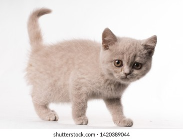 sade expression british short hair cat with no friends