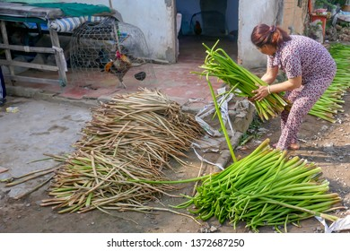 Sadec, Vietnam - March 7, 2019 :  Woman sorting water hyacinth stalks in rural village in Mekong River Delta in Vietnam.