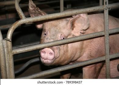 Sad-eyed mother sow behind iron grid