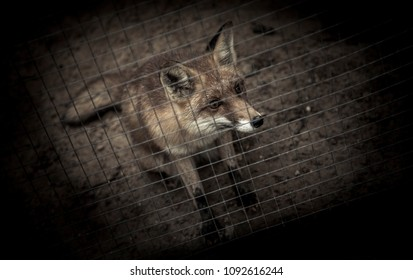 A sadly looking fox in a kennel in a zoo. Recorded in Poland.
