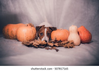 Sadness Dog lying down between Pumpkins in autumn leaves. Vintage style.