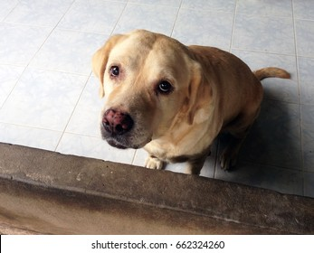 Sadness old dog breed labrador retriever looking like use the sad eyes appeal to his owner. Abandoned dog poor want people to adopt.