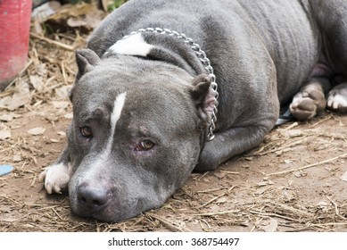 pitbull dog images stock photos vectors shutterstock
