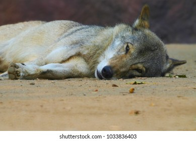 sadness wolf lies on the ground