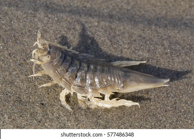 Saduria entomon on the sea sand. Laptev sea.