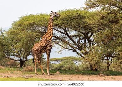 Safari adult giraffe eating baobab tree in its nature savannah habitat in Serengeti National Park, Tanzania. Wildlife scene in African Safari.