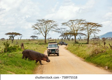 Safari cars on game drive with hippo crossing road