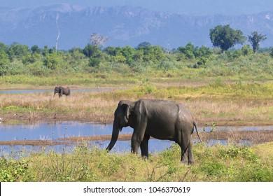 Safari with elephants Elephans maximus,in Udawalawe national park, Sri Lanka