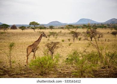 Safari in Kenya, a giraffe is watching in the savannah, with mountains