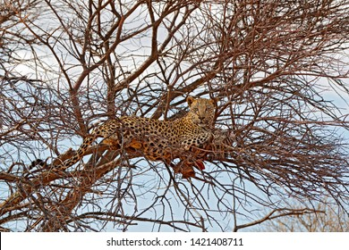 Safari in Namibia. Leopard on the tree with catch, animal behaviour. Big cat feeding young zebra, Etosha National Park in the Africa. Wildlife scene from nature. African leopard kill zebra.