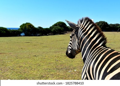 Safari park in the middle of the Adriatic sea. The park is located on the island Veli Brijun in Istria, Croatia. The zebra has no fear of being attacked; it stands still for a photo.