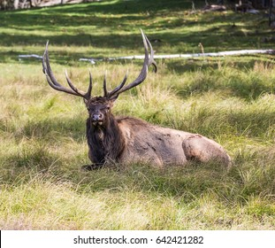 """Safari Park """"Omega"""" in the vicinity of Montreal. Deer with branched horns resting in the tall grass"""