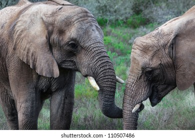 From a safari vehicle at Indalu game drive in Mossel Bay, South Africa, two elephants are seen holding trunks.