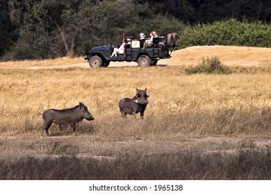 Safari vehicle and warthogs in Lower Zambezi National Park