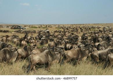 Safari vehicle in wildebeest (Connochaetes taurinus), Masai Mara, Kenya