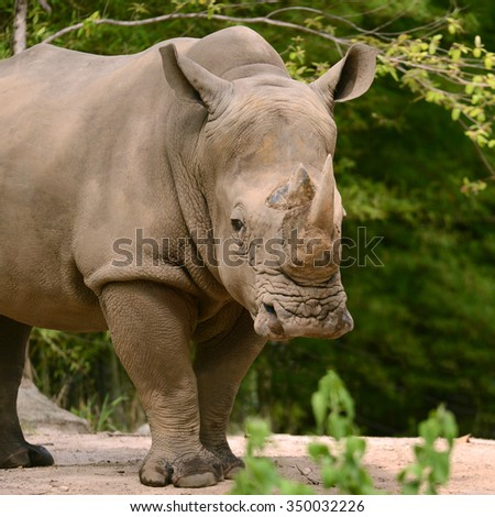 Safari white rhinoceros two horned in forest