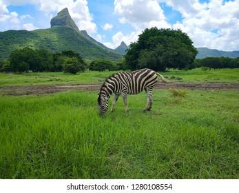 safari with zebras