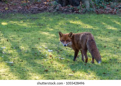 Safe from the hounds this urban fox feasts in broad daylight on Christmas leftovers put out for the birds. In excellent condition the vixen may well produce a litter in March