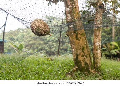 Safety net used to cushion impact of ripe durian dropped from tree