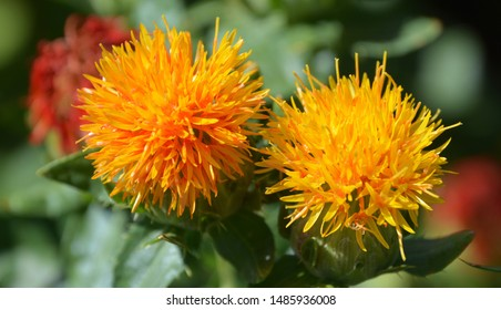 Safflower (Carthamus tinctorius) is a highly branched, herbaceous, thistle-like annual plant. It is commercially cultivated for vegetable oil extracted from the seeds