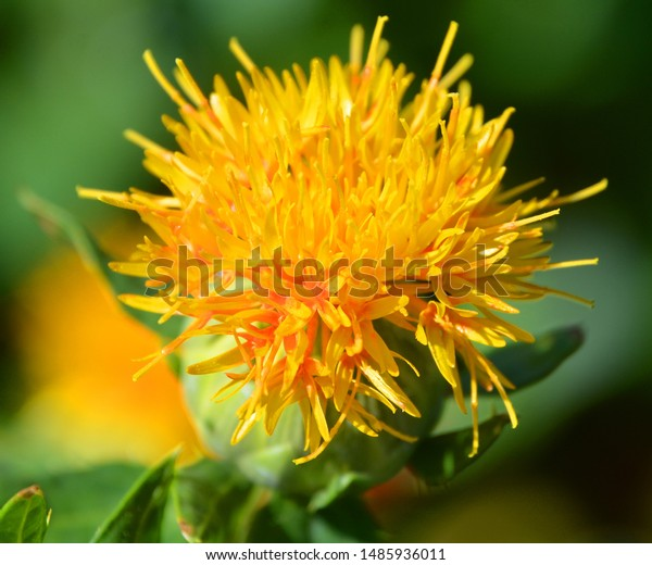 Safflower Carthamus Tinctorius Highly Branched Herbaceous Stock Photo Edit Now 1485936011