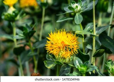 Safflower (Carthamus tinctorius,False saffron) has begun to bloom and buds of Safflowers plant